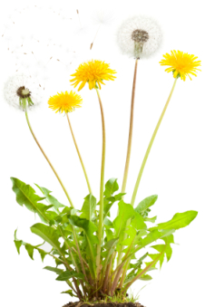 Dandelion with flowers and flying seeds. Isolated on white.