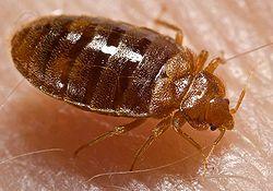 250px-bed_bug_cimex_lectularius